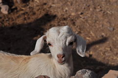 Young white goat Royalty Free Stock Photography