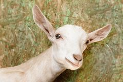 Young white goat looks touching royalty free stock image