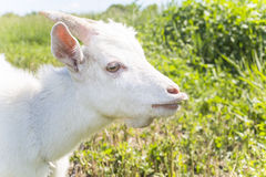 Young white goat Royalty Free Stock Photo