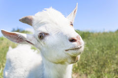 Young white goat Stock Photos