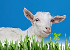 Young white goat Stock Images