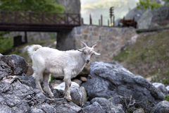 Young white goat on stones Stock Images