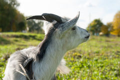Young white goat at village farm or ranch. Royalty Free Stock Photos