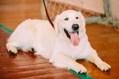 Young White Golden Labrador Retriever Dog Royalty Free Stock Photography