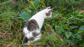 Young white-gray tabby cat is walking in the green grass. Domestic cat is hunting on the loose. Cat sits in the high