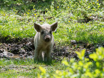 Young white hairy pig looking at the camera. Breed the hungarian Stock Image
