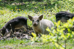 Young white hairy pig looking at the camera. Breed the hungarian Stock Photography