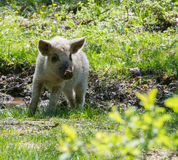 Young white hairy pig looking at the camera. Breed the hungarian Royalty Free Stock Photos