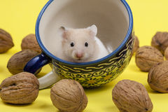Young white hamster in tee cup and walnuts. Stock Photos