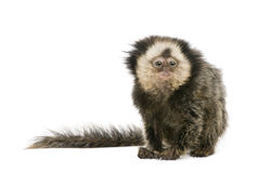 Young White-headed Marmoset. Callithrix geoffroyi, 5 months old, in front of white background, studio shot stock photo