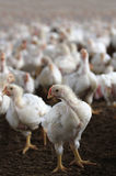 Young white hen looking at camera in a chicken poultry farm. Stock Photo