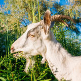 Young White Horned Goat Chewing Stock Photos