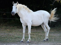 Young white horse stock images
