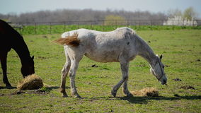 Young White Horse Graze on the Farm Ranch, Animal on Summer Pasture stock footage
