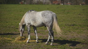 Young White Horse Graze on the Farm Ranch, Animal on Summer Pasture stock video footage