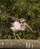 Young white ibis Royalty Free Stock Photography
