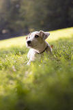 Young white jack russell on grass in park Royalty Free Stock Photo
