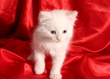 Young white kitten Stock Images