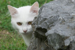 Young white kitten behind stone. Young white kitten hidden behind stone Royalty Free Stock Photo