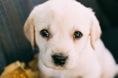 Young White Labrador Dog Puppy Royalty Free Stock Photo