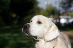 Young white labrador Royalty Free Stock Images