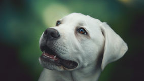 Young white labrador retriever dog puppy with big eyes Royalty Free Stock Images