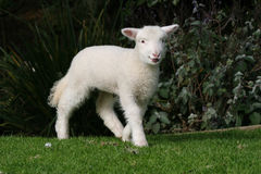 Young white lamb. Walking on the grass royalty free stock photo