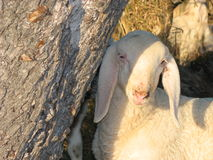 Young white lamb in a flock in the mountain Stock Photos