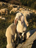 Young white lamb in a flock in the mountain Stock Photo