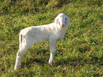 Young white lamb in a flock in the mountain Stock Images