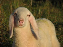 Young white lamb in the mountain Royalty Free Stock Images