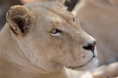 Young white lion Stock Images