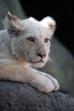 Young White Lion Cub Royalty Free Stock Photography