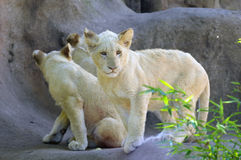 Young White Lion Cub Royalty Free Stock Photo