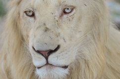 Young white lion, lost in thoughts royalty free stock images