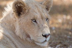 Young white lion Stock Photography