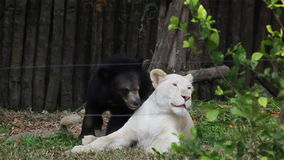 Young White lion playing with Asiatic black bear as Friendship between different species of friends in HD stock video footage