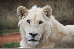 Young white lion Royalty Free Stock Photography