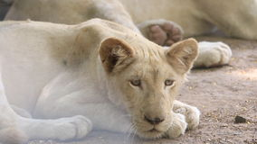 A young white lion resting on ground, HD Clip. stock video