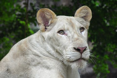 Young white lioness portrait in zoo close up Stock Image