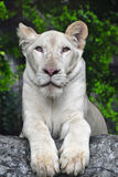 Young white lioness portrait in zoo close up Royalty Free Stock Photography