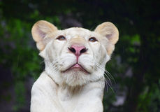 Young white lioness portrait in zoo under rain royalty free stock image