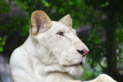 Young white lioness profile in zoo close up Stock Photos
