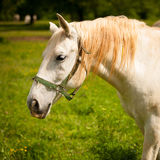 Young white Lipizaner horse on pasture in spring Royalty Free Stock Photos