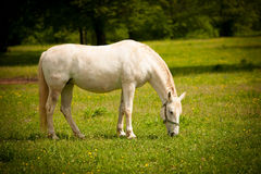 Young white Lipizaner horse on pasture in spring Stock Photo