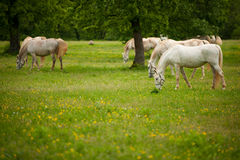 Young white Lipizaner horse on pasture in spring Royalty Free Stock Photography