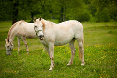 Young white Lipizaner horse on pasture in spring Stock Photos