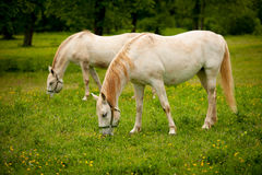 Young white Lipizaner horse on pasture in spring Stock Photography
