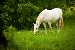 Young white Lipizaner horse on pasture in spring Royalty Free Stock Image