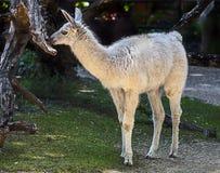 Young white llama 1 Stock Image